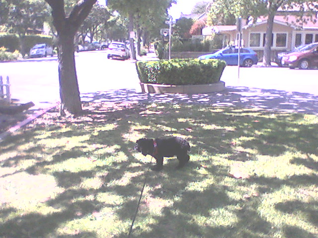 It was too hot to do much more than sniff the grass; I agreed to carry her home, two blocks